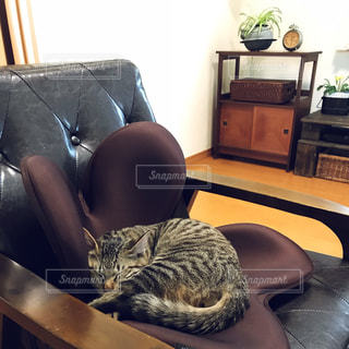 革張りの椅子の上に横たわる猫の写真・画像素材[1807239]