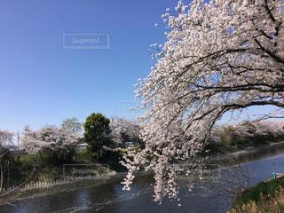 満開の桜の写真・画像素材[1808310]
