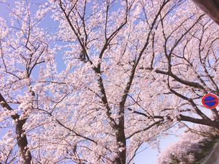 車の中からの桜の写真・画像素材[1808311]