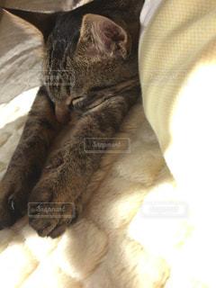 ベッドの上で昼寝中の猫のアップの写真・画像素材[1808726]