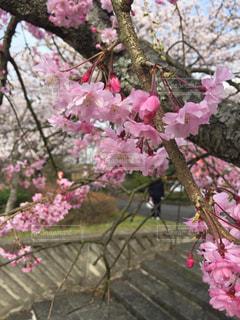 桜さくの写真・画像素材[1813417]