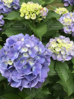 紫陽花の写真・画像素材[2166102]