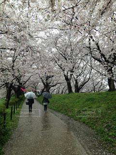 雨の中の桜の写真・画像素材[1811666]
