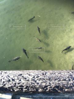 浅瀬を泳ぐ魚の写真・画像素材[1822269]