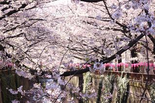 目黒川の桜並木の写真・画像素材[1993418]