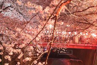 橋と桜の写真・画像素材[1993427]