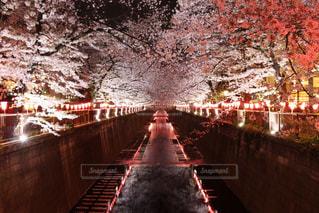 目黒川のライトアップの写真・画像素材[1993428]