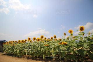 ひまわり畑の写真・画像素材[2502899]