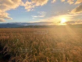 黄金の稲畑の写真・画像素材[1810254]