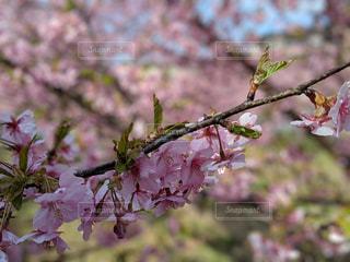 河津桜の写真・画像素材[1813833]