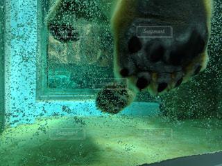ホッキョクグマの足の写真・画像素材[1857276]