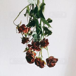 バラのドライフラワーの写真・画像素材[1814980]