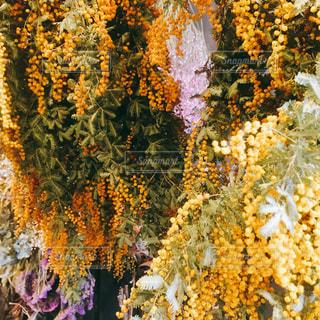 ミモザの写真・画像素材[1870406]