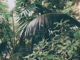 木の隣のヤシの木の群しの写真・画像素材[2447335]