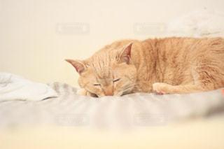 オレンジと白の猫がベッドの上に横たわっている②の写真・画像素材[2087729]