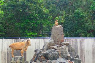 岩の上の猿とヤギの写真・画像素材[1815120]