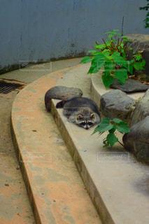 地面に横になっているアライグマの写真・画像素材[1815226]