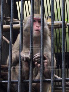檻の中の猿の写真・画像素材[1815156]