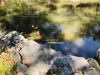 池の錦鯉の写真・画像素材[1851813]