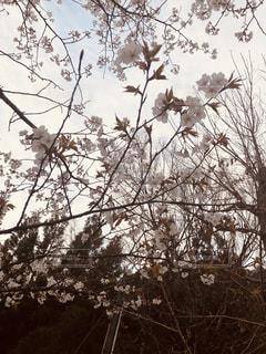 桜の写真・画像素材[1869547]