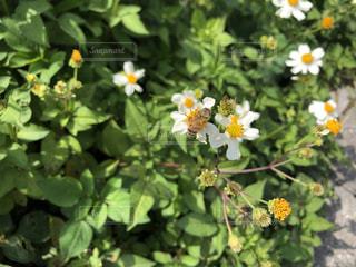 花にとまる蜜蜂の写真・画像素材[2048428]