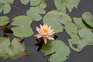 ベトナムのハスの花の写真・画像素材[1844946]
