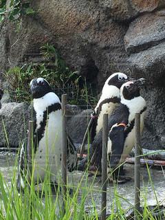 ペンギンの写真・画像素材[1824475]