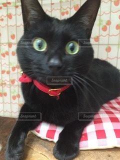 猫の写真・画像素材[64651]