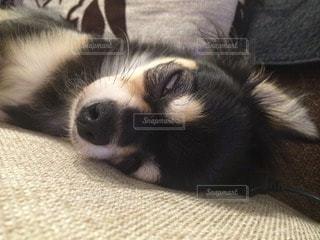 犬の写真・画像素材[65352]