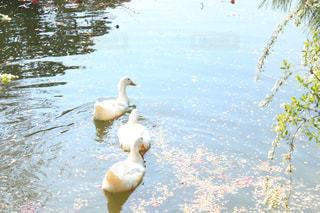 桜散る水面を泳ぐアヒルの写真・画像素材[1832892]