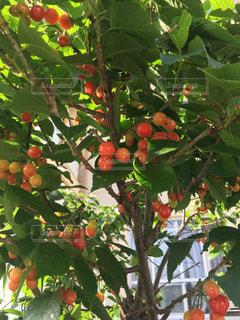 枝からぶら下がっている赤い実の写真・画像素材[2090858]