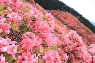 山に広がるツツジの赤色の写真・画像素材[2217682]