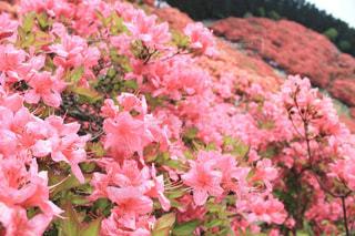 葛城山のツツジの写真・画像素材[2217684]