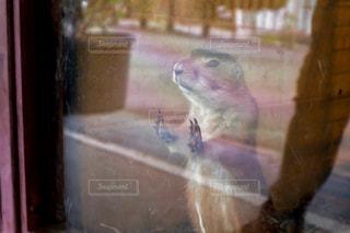 ガラスの外を見るプレーリードッグの写真・画像素材[2285959]