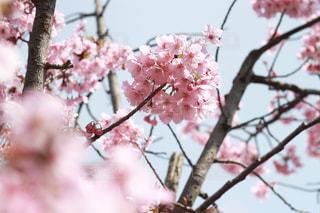 枝に咲く桜の花の写真・画像素材[2305495]