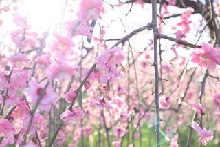 梅の花の写真・画像素材[2320317]