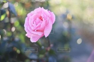 ピンク色のバラの写真・画像素材[2734541]
