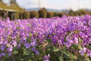紫色の花のクローズアップの写真・画像素材[3100768]