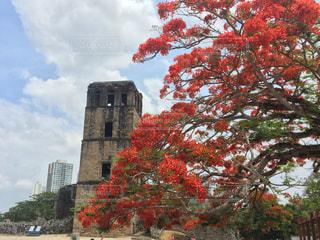 パナマビエホと美しい花木の写真・画像素材[1819913]