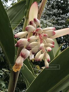 月桃の花の写真・画像素材[1822125]