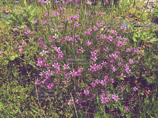 ピンク色の小花の写真・画像素材[1844181]