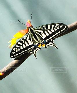 孵化したばかりのアゲハチョウの写真・画像素材[1880238]