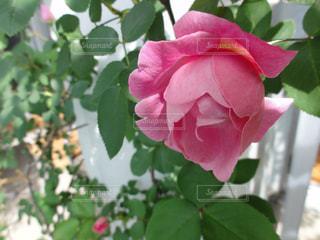 薔薇の写真・画像素材[1880933]