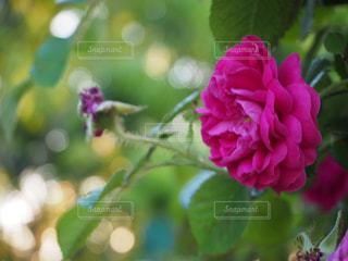 夕暮れのバラの写真・画像素材[2148664]