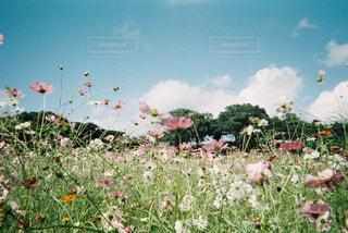 コスモス畑3の写真・画像素材[1823425]