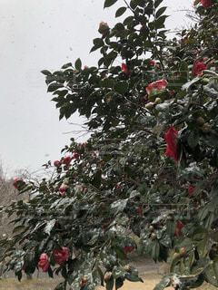 雪と椿の写真・画像素材[1825890]