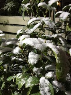 金木犀の葉に積もった夜の雪の写真・画像素材[1827367]