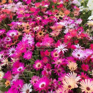 様々なタイプのピンク色の写真・画像素材[1830489]