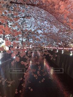 目黒川の夜桜の写真・画像素材[1830568]