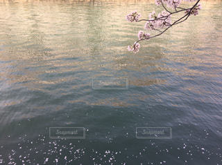 水面に落ちる桜の花びらの写真・画像素材[1832222]